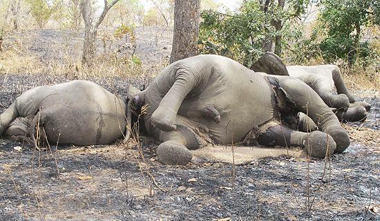 Elefantes mortos no parque nacional Bouba Ndjida em foto tirada no dia 23 deste mês