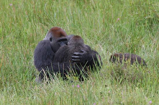Leah tornou-se a primeira gorila selvagem a ser fotografada copulando em posição frontal, como seres humanos