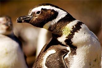 Pingüins-de-magalhães (_Spheniscus magellanicus_) invadem o litoral brasileiro nesta época vindos do extremo sul do continente