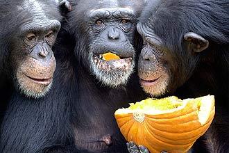 Estudo de primatólogos nos EUA sugere que chimpanzés são capazes de reconhecer membros de seu grupo pelo traseiro