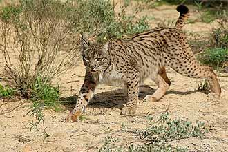 Principal objetivo é conseguir que exemplares de lince ibérico (_Lynx pardinus_) sejam posteriormente reintroduzidos na natureza