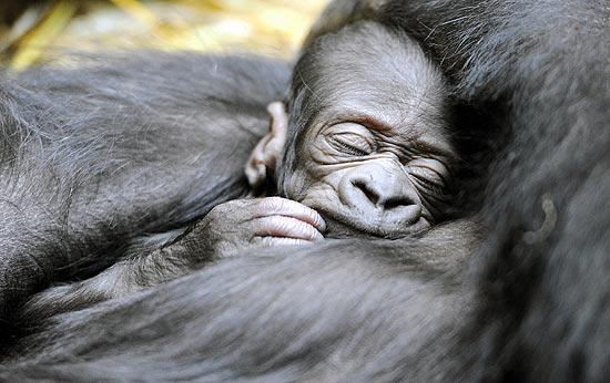 Bebê gorila de cinco dias adormece nos braços da mãe
