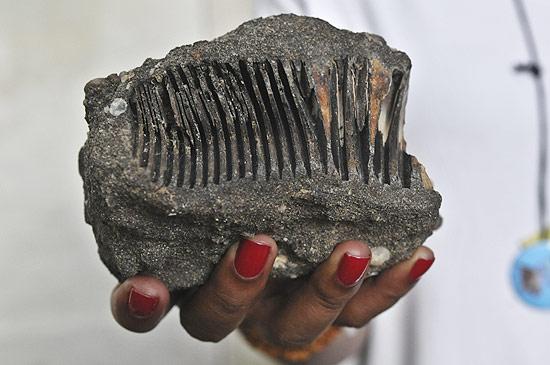 Dente de elefante que foi encontrado na Amazônia; descoberta revela que animal habitou a floresta no passado