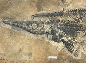 Fóssil de réptil marinho pré-histórico conhecido como ictiossauro, que lembra remotamente um golfinho