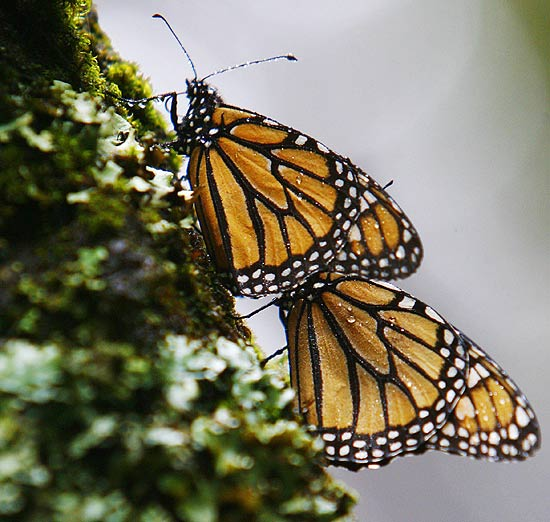 Tempo mais frio e seco pode estar contribuindo com desaparecimento de borboletas-monarca
