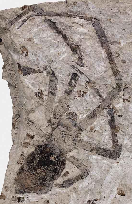 Imagem do fóssil