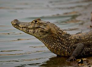 Jacaré no Pantanal