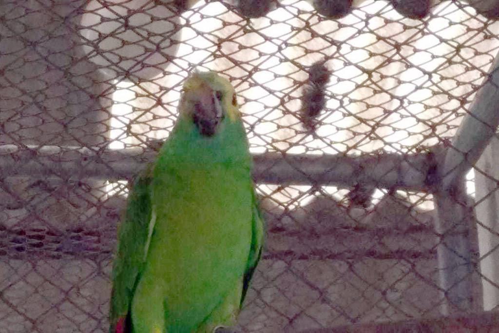 Papagaio que levou tiro, mordida de cobra e foi roubado volta sozinho para zoológico