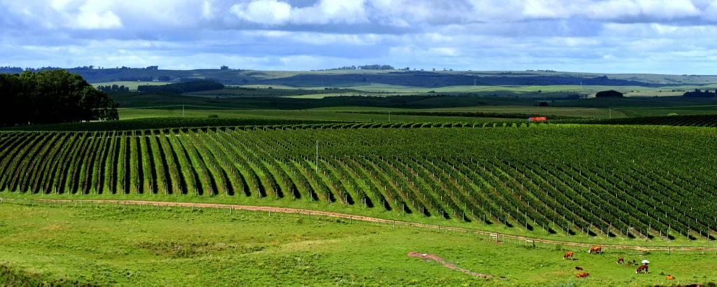 Campanha Gaúcha tenta se consolidar como o futuro do vinho ...