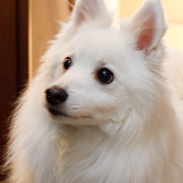 マスコット犬スピッツハリーのフィットネス【記念日の結晶 1/f エフブンノイチ】