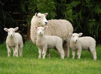 https://i1.wp.com/f2.thejournal.ie/media/2013/08/lambs-3-390x285.jpg