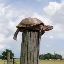 fencepost turtle