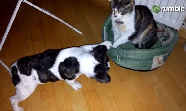 Битва настойчивого щенка и невозмутимого кота за спальное ...