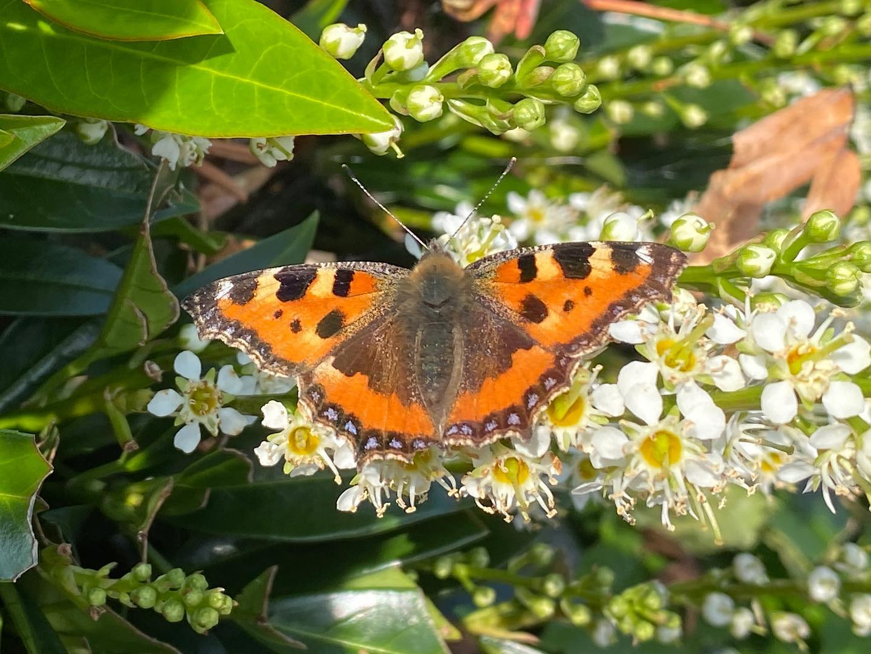 Calton Butterfly