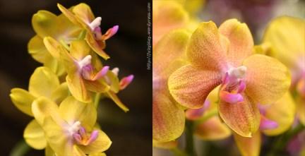 Orchidée (10) - Grandes Serres du Jardin des Plantes (75) - février 2013