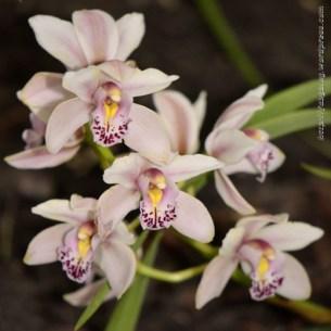 Orchidée (16) - Grandes Serres du Jardin des Plantes (75) - février 2013