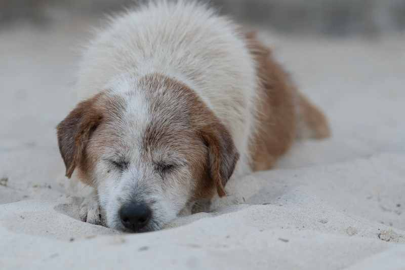dog sleeping at beach