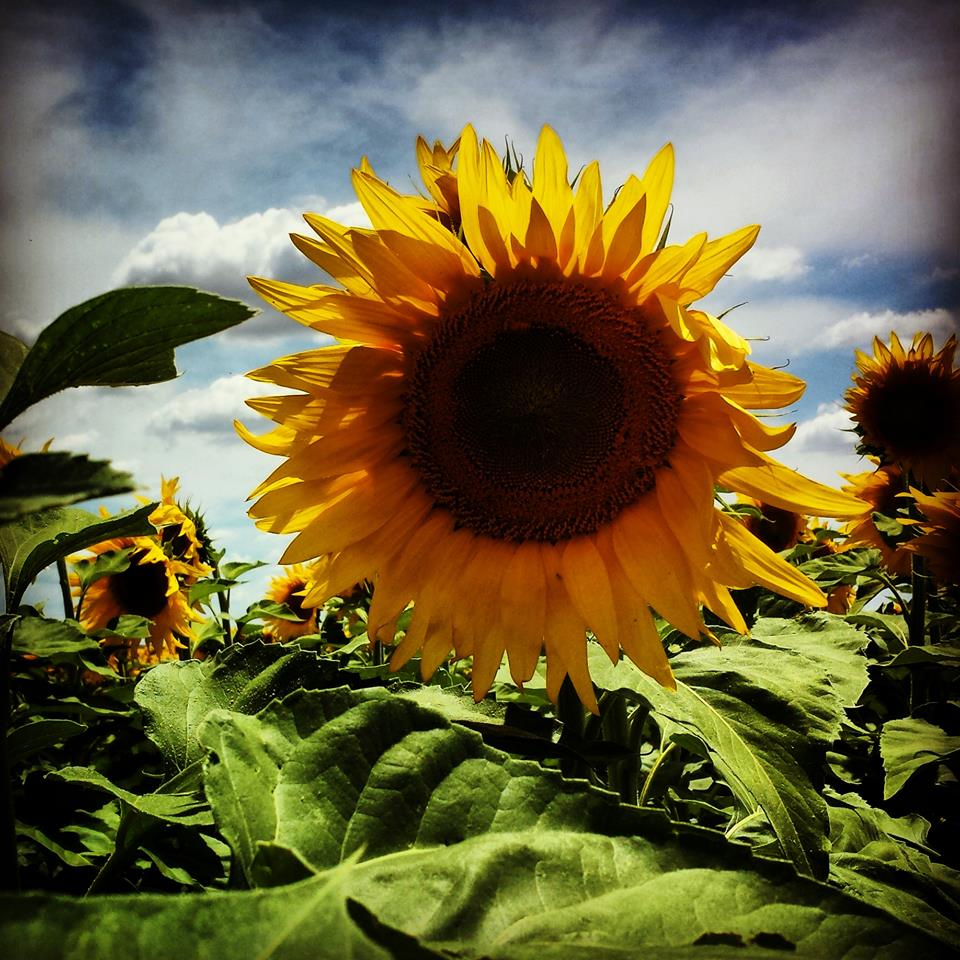 Sunflower 2014