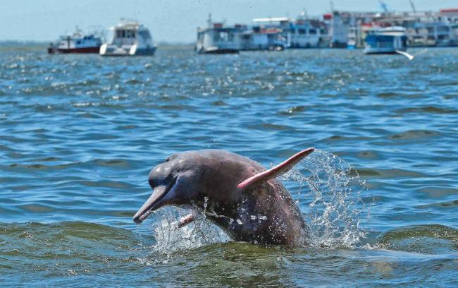 Boto no Rio Tapajós -Santarém - Foto Sidney Oliveira - Web