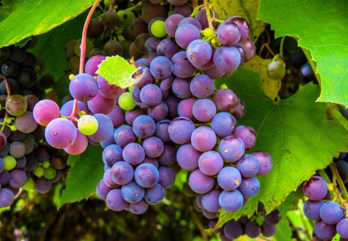 Fim de ano tem Festa da Uva em Louveira