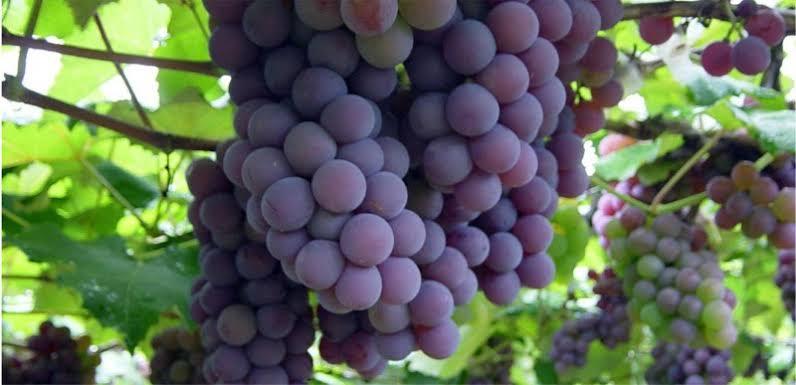 Festa da Uva de Louveira tem variedade de eventos e ótimas atrações rurais