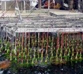 viveiros-de-ostras-foto-wikimedia