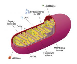 antienvelhecimento telômeros mitocôndrias