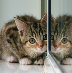 Kitten and partial reflection in mirror-Wikimedia