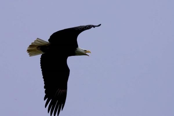 Bald Eagle flying over Kodiak National Wildlife Refuge