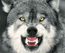 There are real wolves