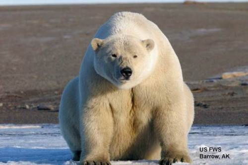 USFS photo of polar bear