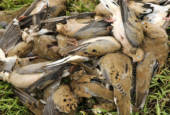 Pile of Morning Dove after a dove hunt