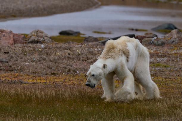 Risultati immagini per polar bear climate change