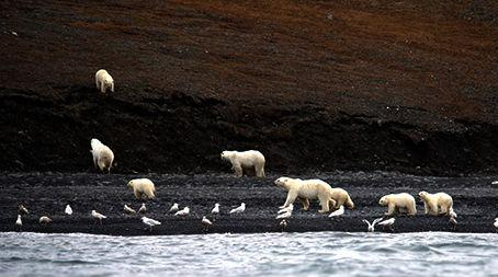 Polar Bears on Wrangel Island in Chukotka