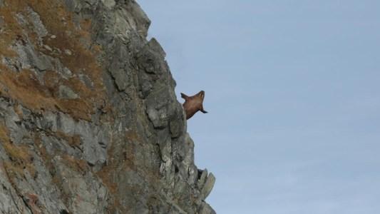 Walrus falls off cliff into the ocean