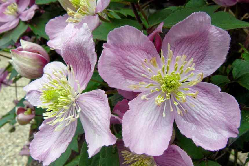 Clematis Pink Flowering Creeper