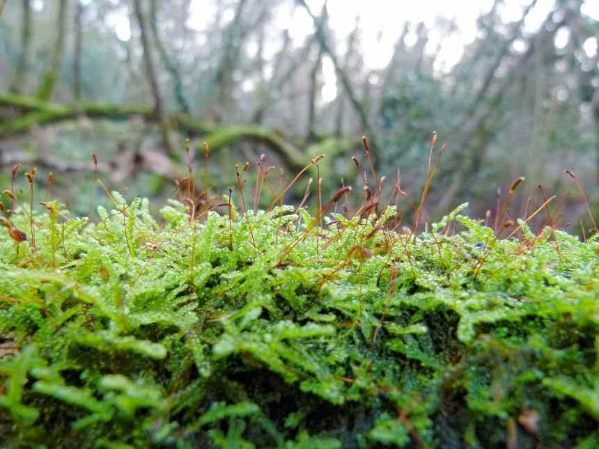 Moss Sporophytes on a log