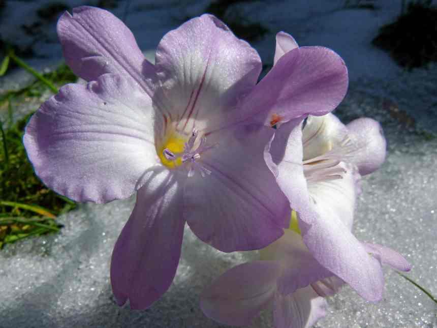 Purple freesia on ice