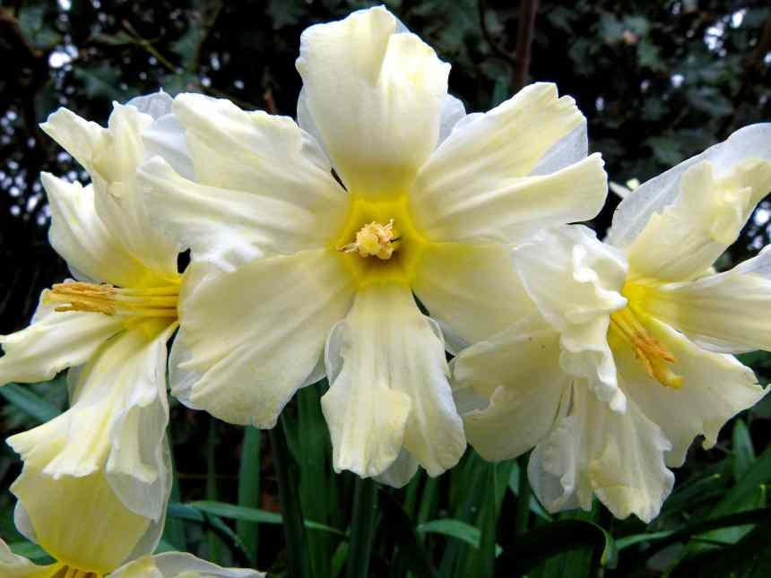 Daffodils with flattened coronas