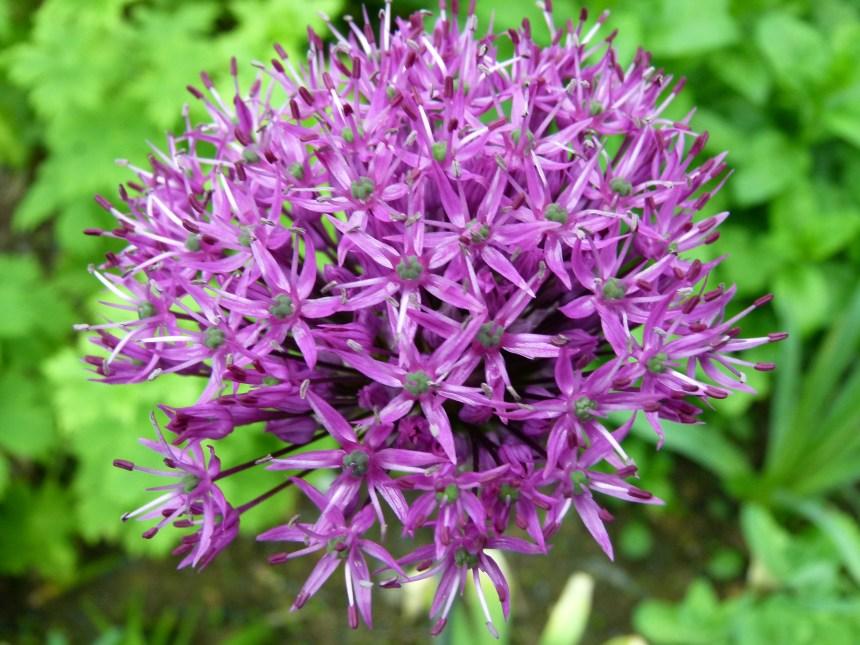 Allium: Ornamental Onion