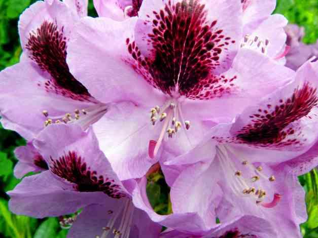 Azalea pink dark spot low res