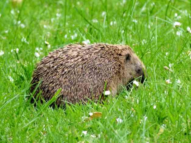 Hedgehog Horace low res
