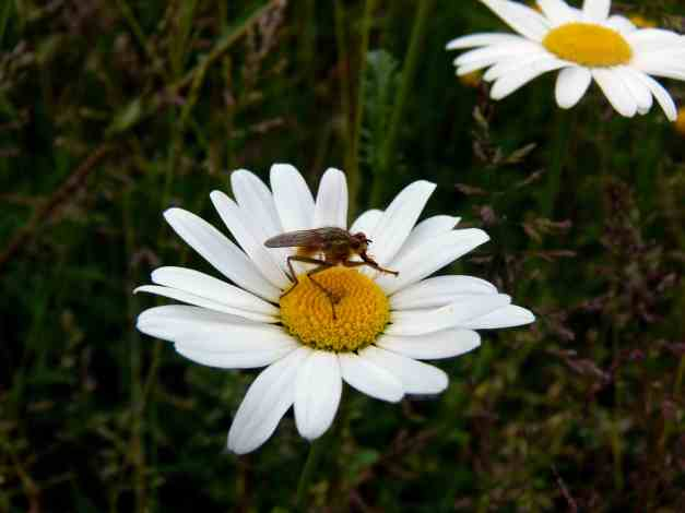 Oxeye Daisy and Bug low res