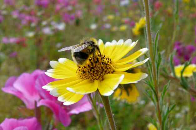 Meadow flower with bee low res 2