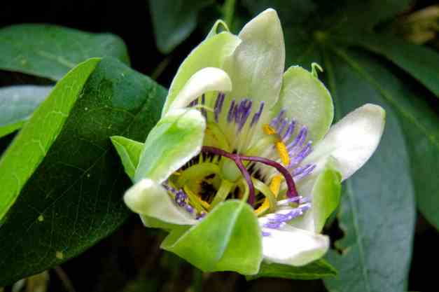 Passion flower budding low res
