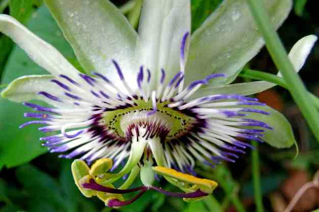 Passion flower upside down low res