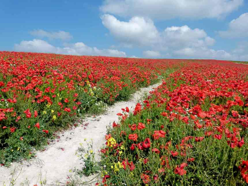 Path through the Poppies