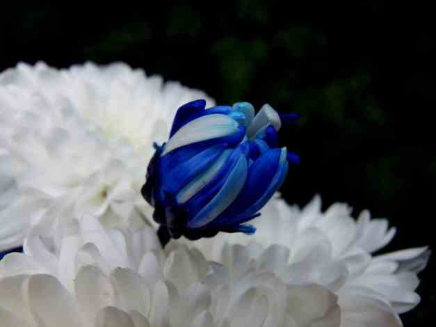 Chrysanthemum blue bud low res