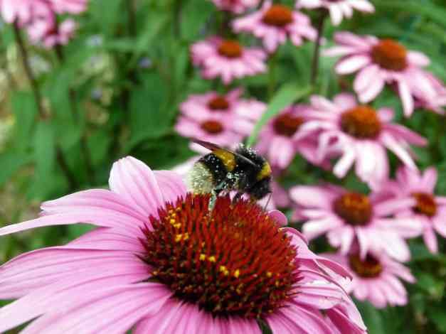 Cone flower with Bee 2 low res