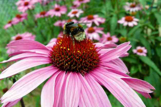 Coneflower with bee low res